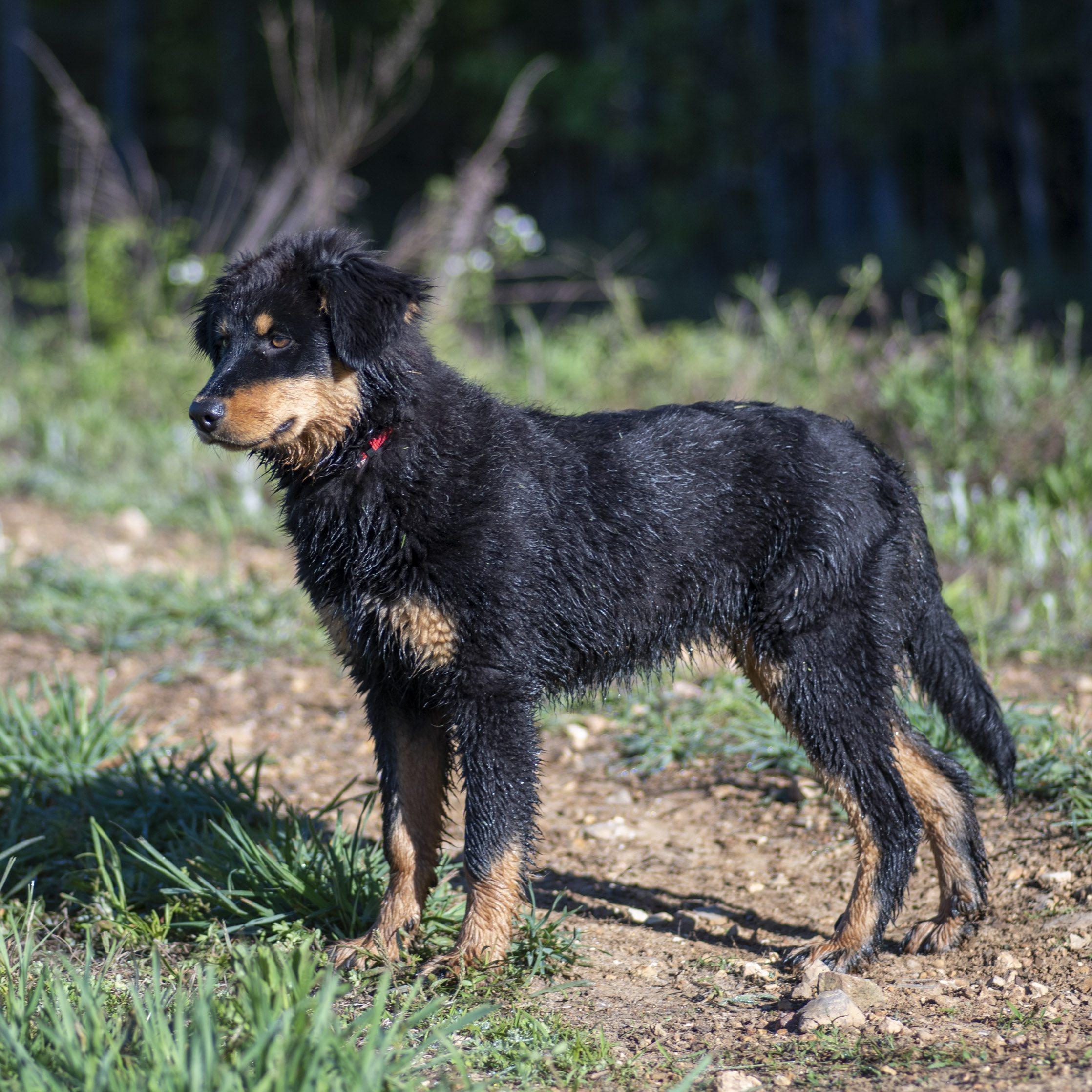 Restoring the Tennessee English Shepherd