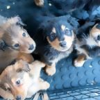Sit Does Not Mean Sit: Giving Puppies a Voice with Mand Behaviors