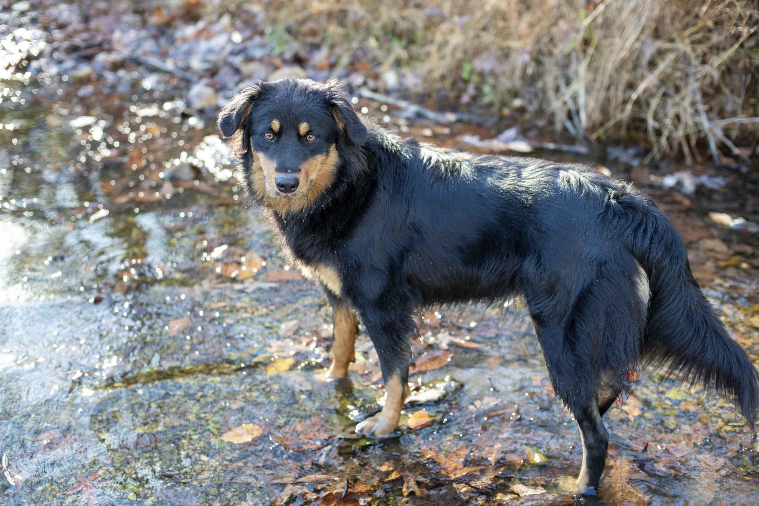 The Tennessee English Shepherd